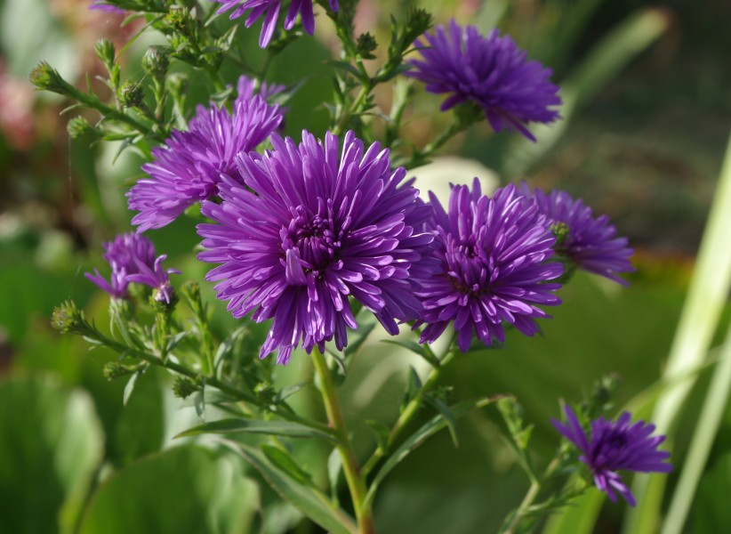 Asters FR 2012