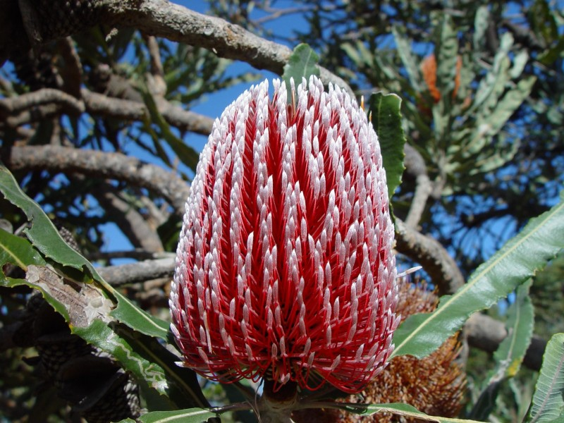 Banksia flower red
