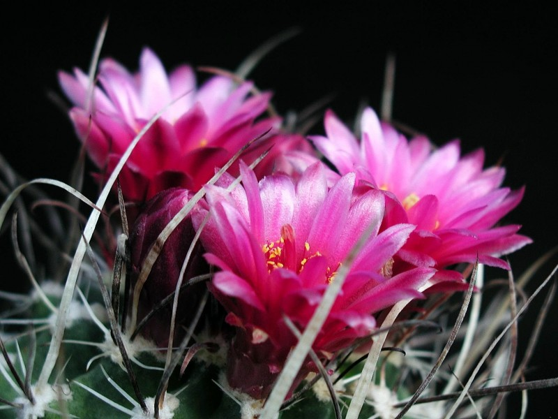 Barbed cactus with flowers