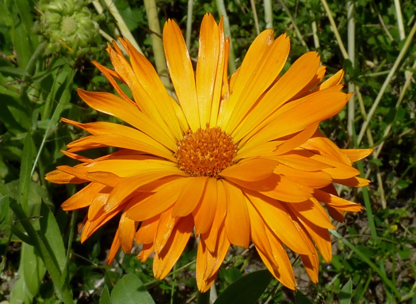 Calendula officinalis J1