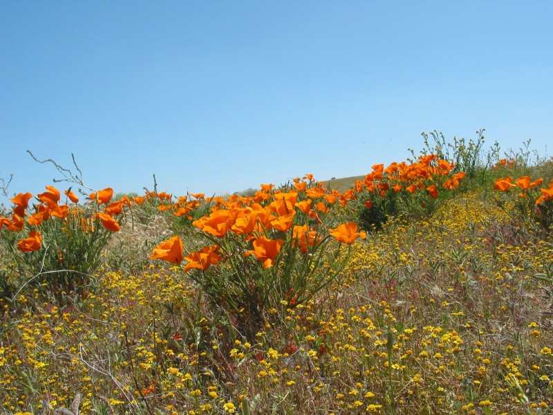 California Poppies2