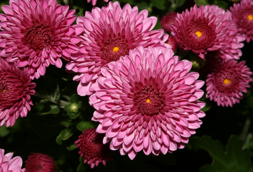 Chrysanthemum (0883)-Relic38