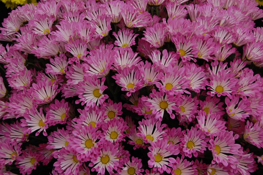 Chrysanthemum 'Dance'