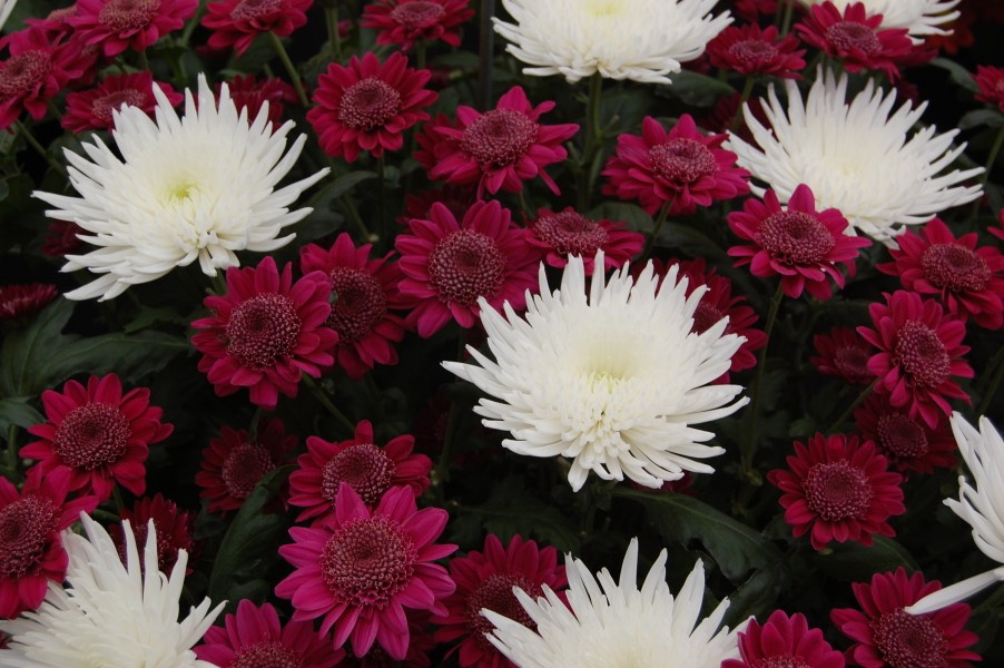 Chrysanthemum 'Delianne' and 'Rejoice'