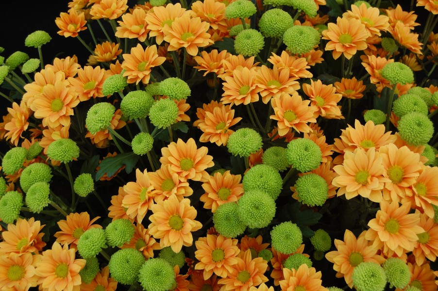 Chrysanthemum 'Enbee Wedding Golden' and 'Feeling Green'