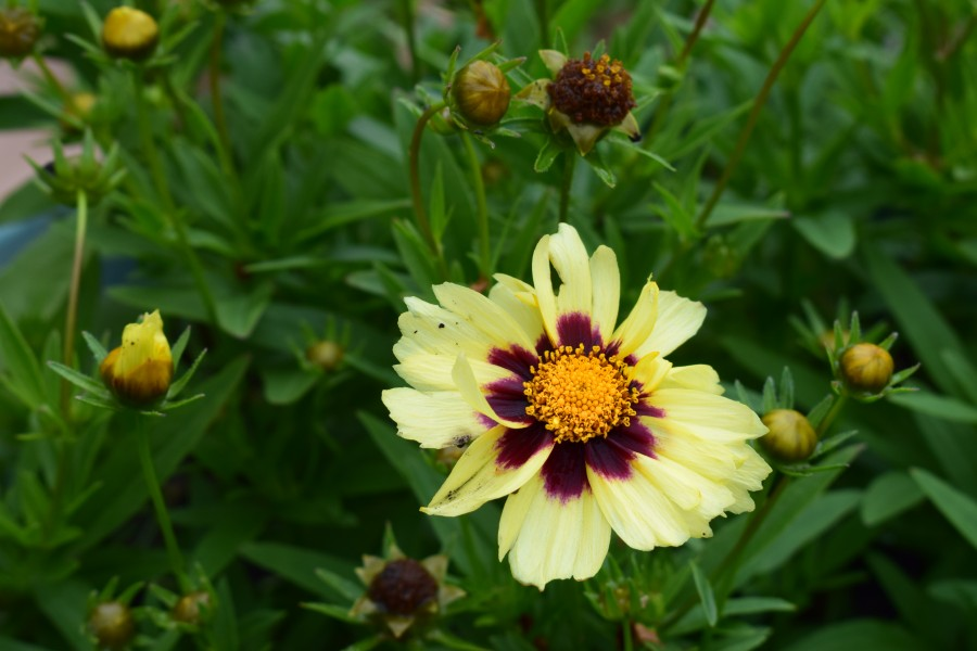 Coreopsis tinctoria cultivar Uptick Cream and Red 12