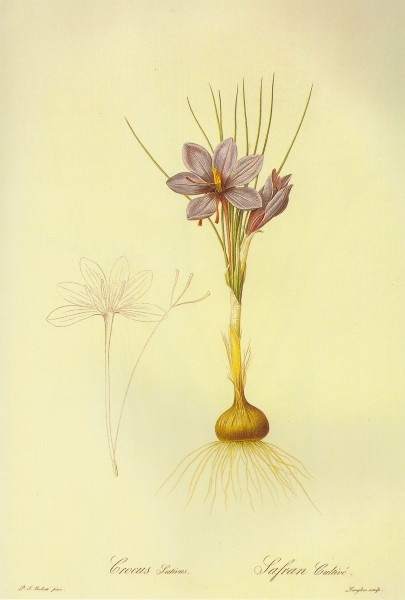 Crocus sativus in Les liliacees