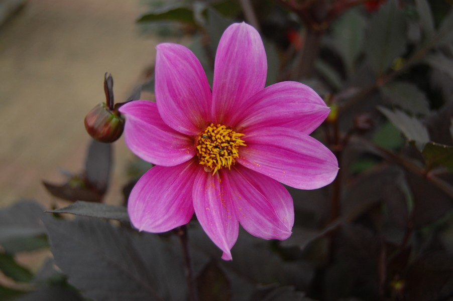 Dahlia 'Happy Single Juliet' 01