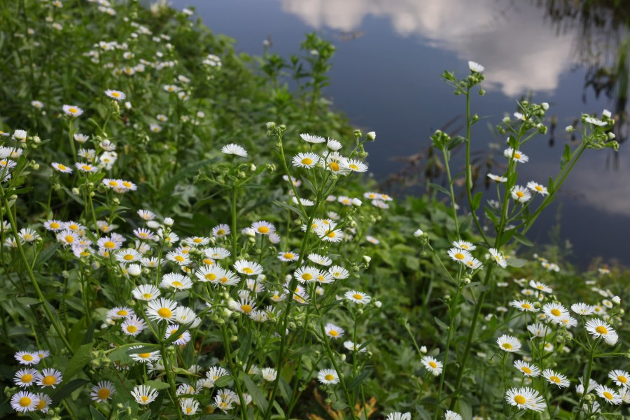 white daisies near a pond