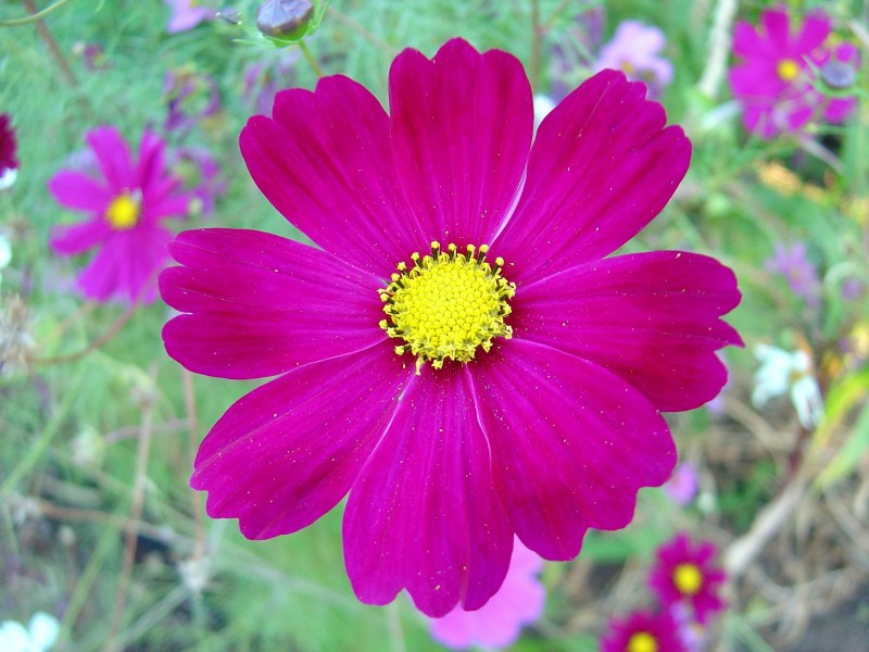 Dark pink cosmos flower