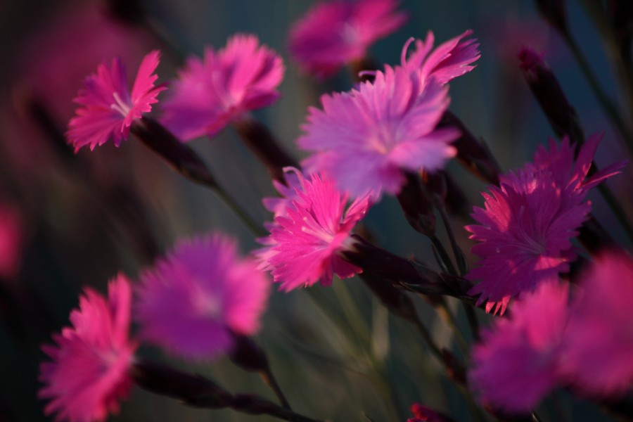 Dianthus-burning-witch-macro-flower-spring - West Virginia - ForestWander