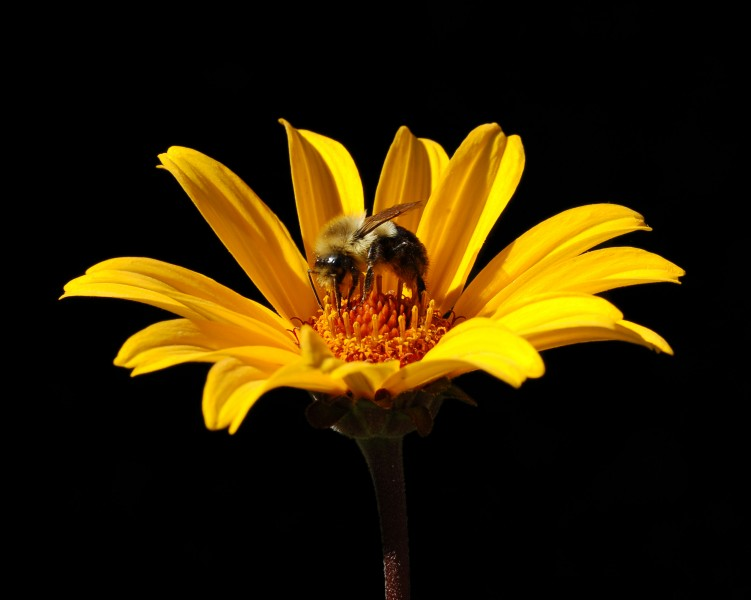 False Sunflower Heliopsis helianthoides 'Summer Nights' Bee