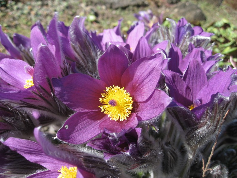 Flickr - brewbooks - Pasque flower