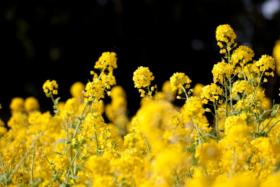 Flower, Rapeseed - Flickr - nekonomania