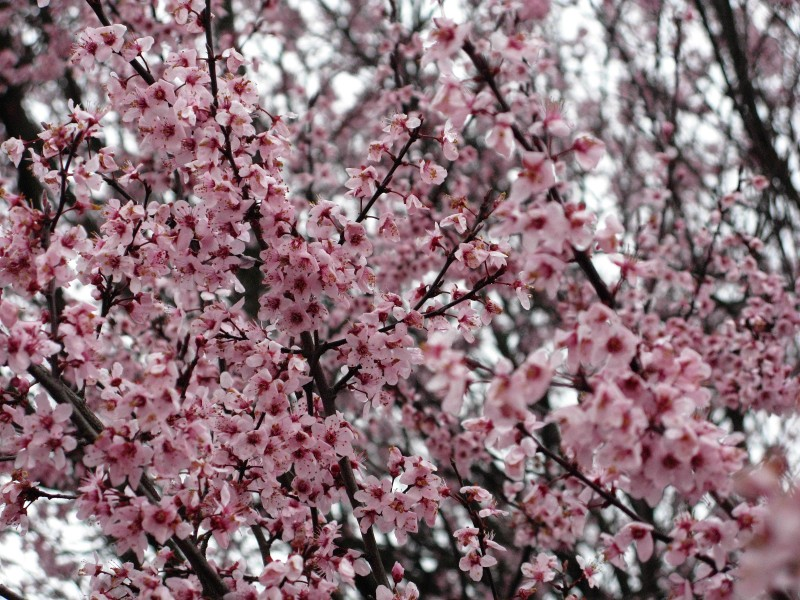 Flowering-plum-pink-purple - West Virginia - ForestWander