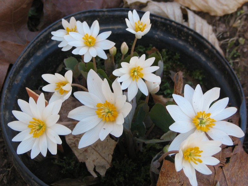 Flowering bloodroot - potted P.2005.04.04
