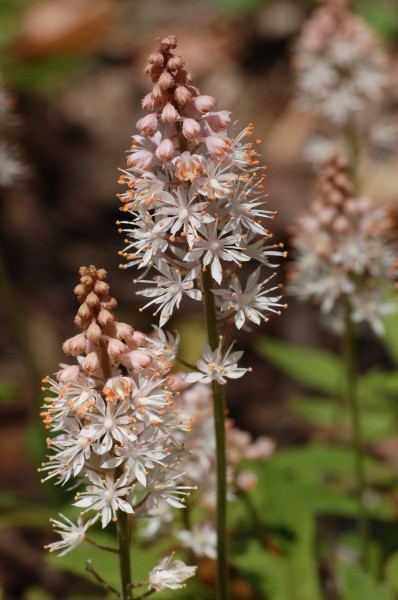 Foamflower Tiarella 'Cygnet' Flower Closeup 2000px
