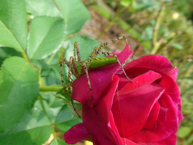Green Lynx Spider in Tyler Texas