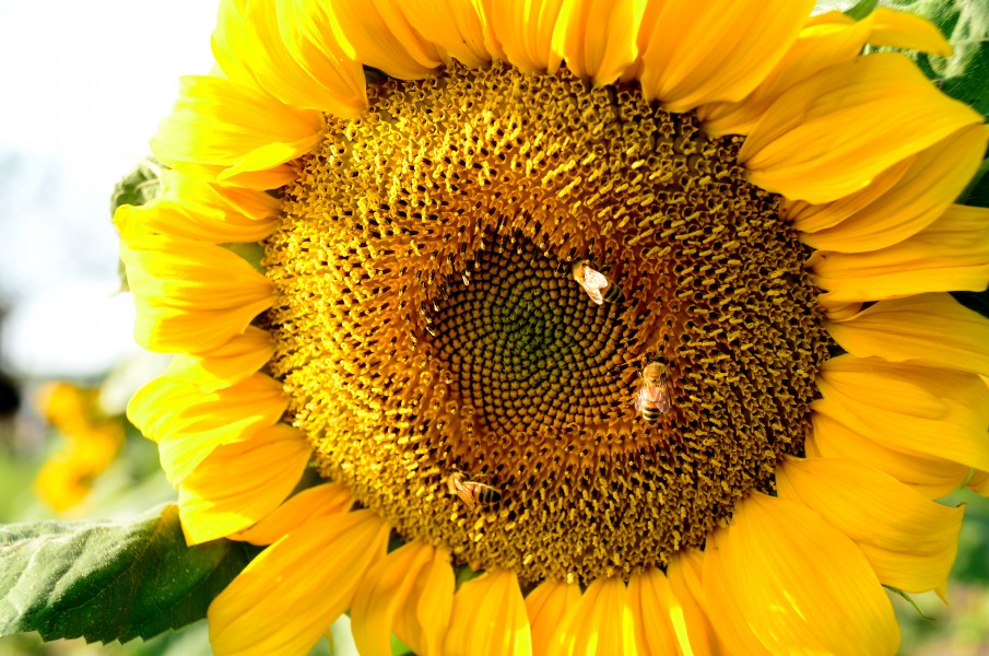 Honeybees on a sunflower