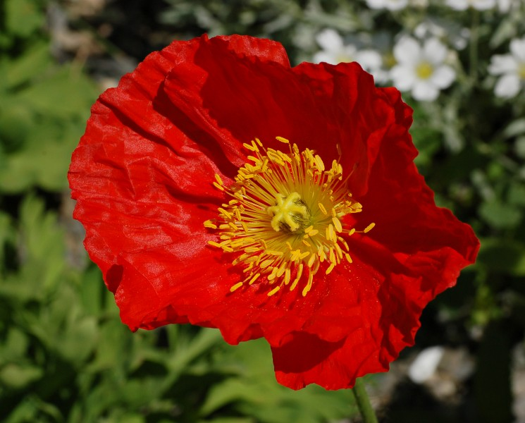 Iceland Poppy Papaver nudicaule 'Champagne Bubbles' Red Flower