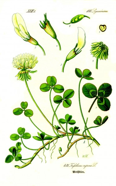 Illustration Trifolium repens1