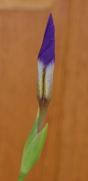 Japanese Roof Iris Iris tectorum 'Woolong' Bud 1439px