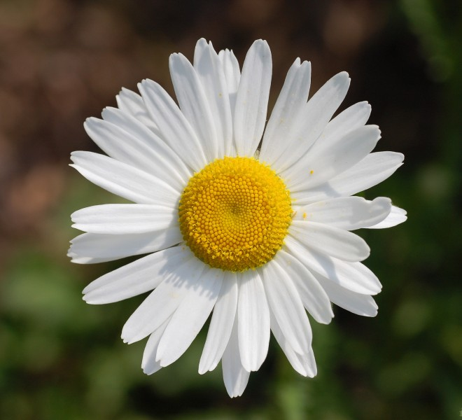 Leucanthemum vulgare 'Filigran' Flower 2200px edit1