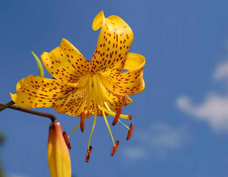 Lily Lilium 'Citronella' Flower 2578px-edit2
