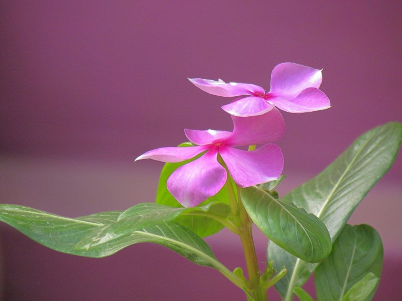 Madagascar Periwinkle - Couple - Jammu
