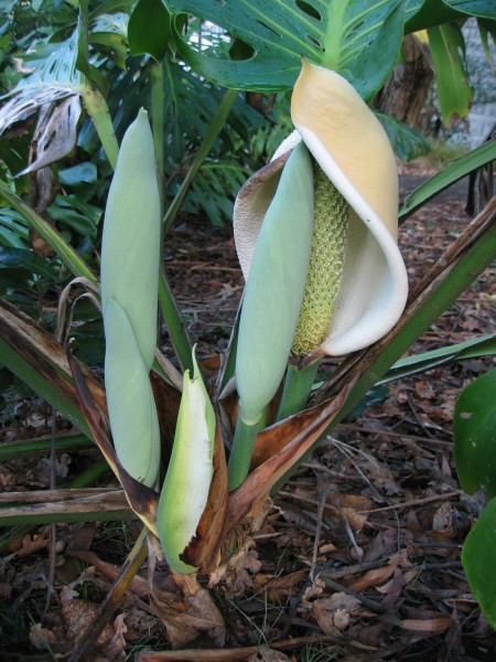 Monstera deliciosa flower and buds
