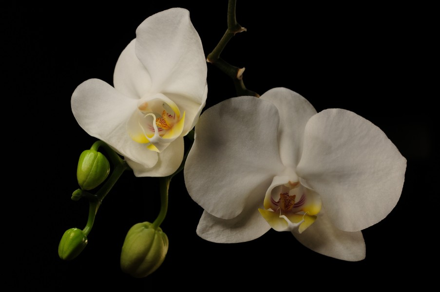 Orchids in buds and in flower