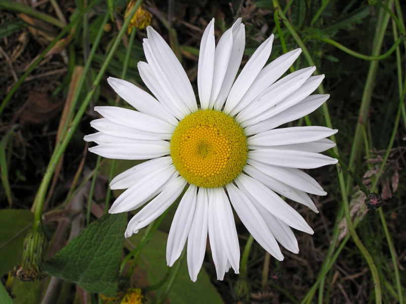 Ox-eye daisy 01