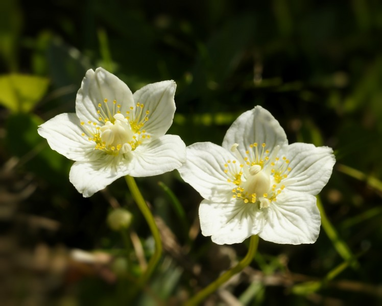 Parnassia palustris (flowers)
