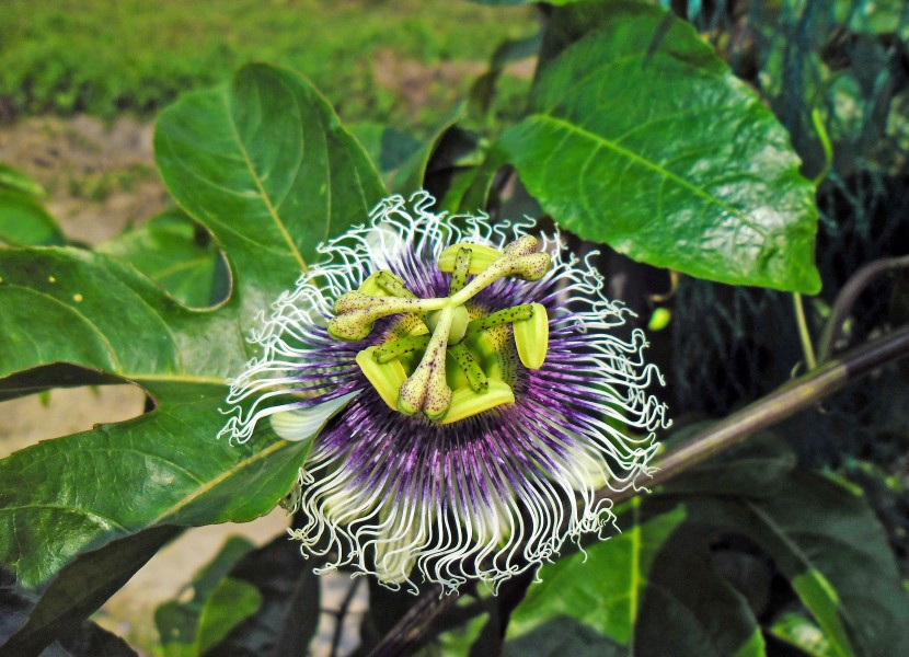 Passiflora edulis flower in Hong Kong Mar 9 2013