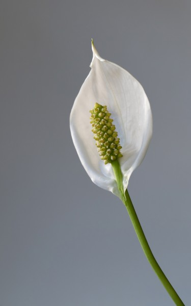 Peace lily - 1