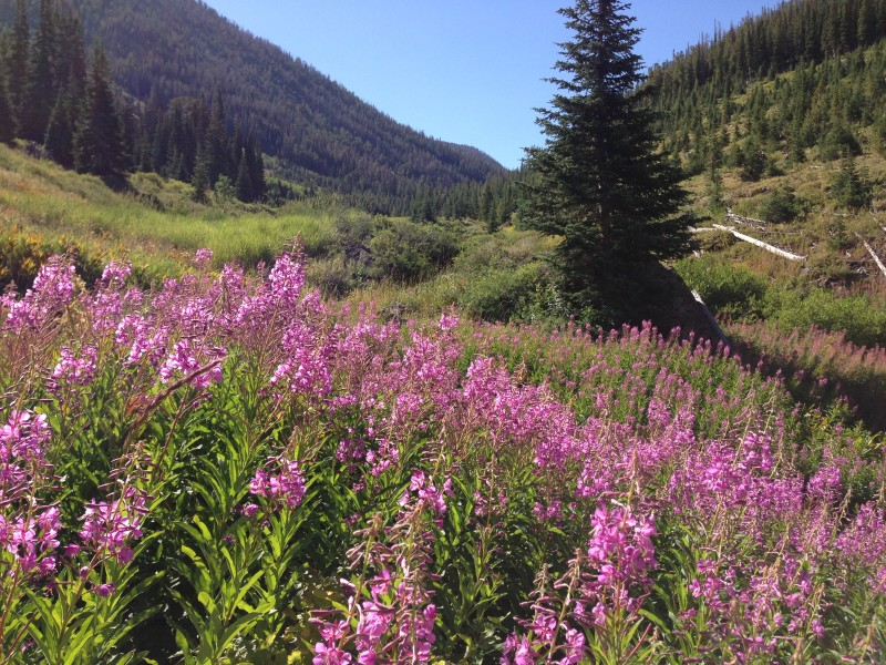 Pink-purple wildflowers and subalpine fir trees near the Jarbidge River in the upper Jarbidge River Canyon on August 9th 2013