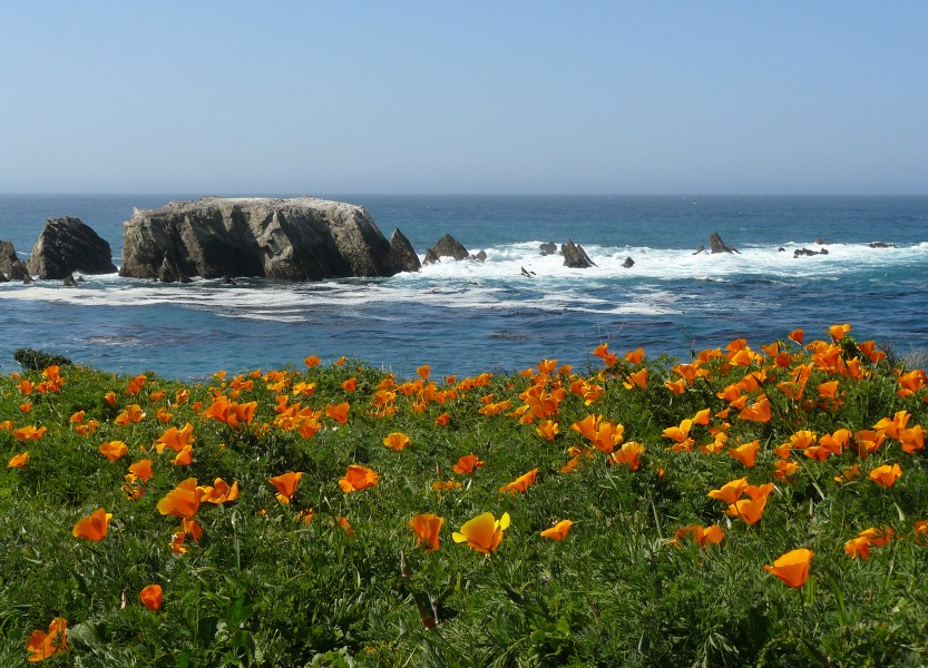 Poppies - Point Buchon (2398996909)