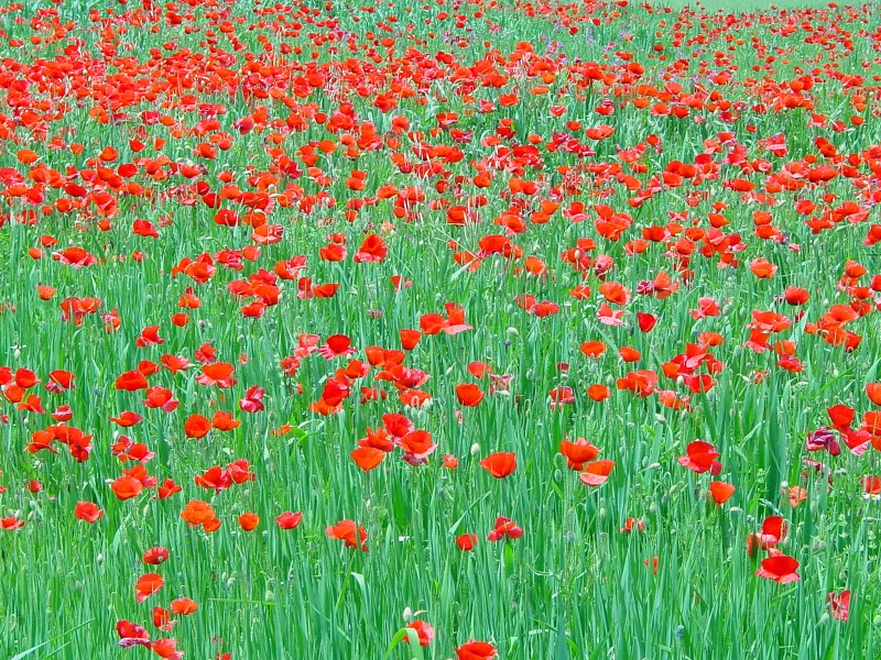Poppies in Spain (2579574833)