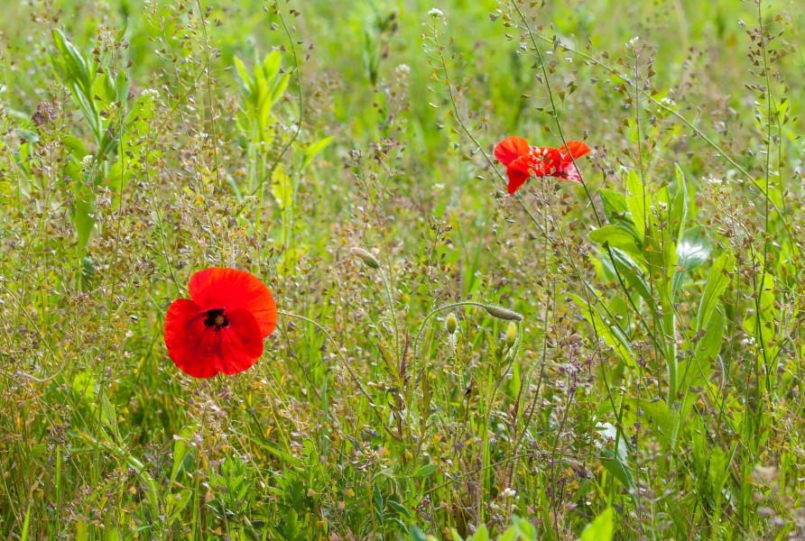 poppies on a field photographed in May 2014 in Ukraine