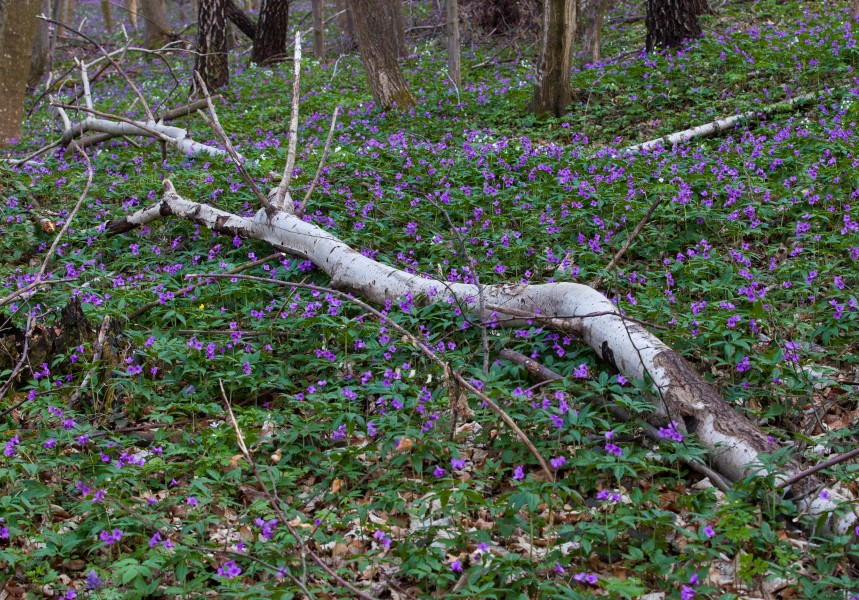purple flowers in a forest in Lviv region of Ukraine in March 2014, picture 2/4