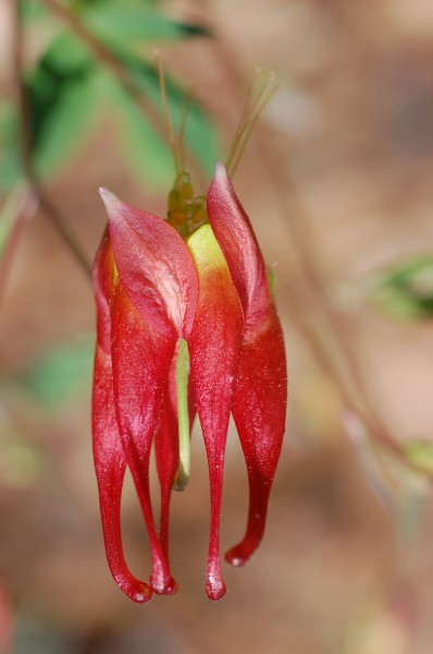 Red Columbine Aquilegia canadensis 'Canyon Vista' Flower 2000px