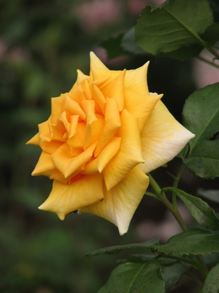 Rosa 'Golden Monica' 02