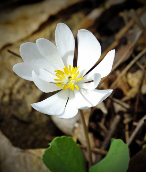 Sanguinaria canadensis William Penn State Forest