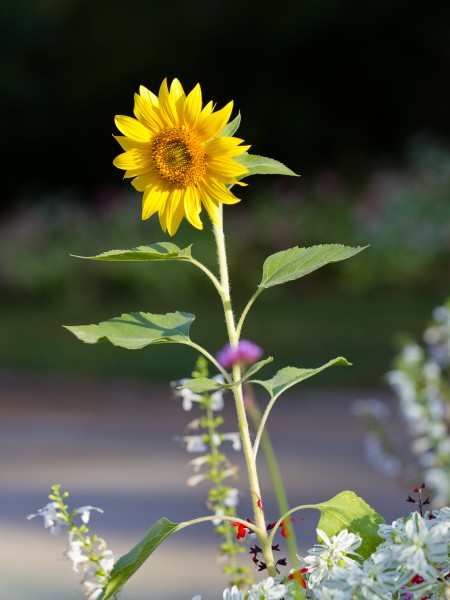 Sunflower - Toulouse - 2012-09-07