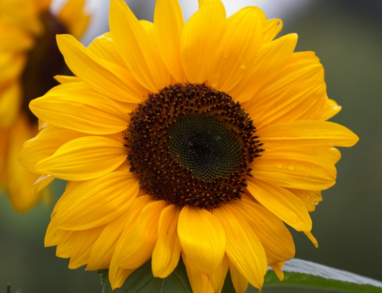 Sunflower 2 (6086040299)