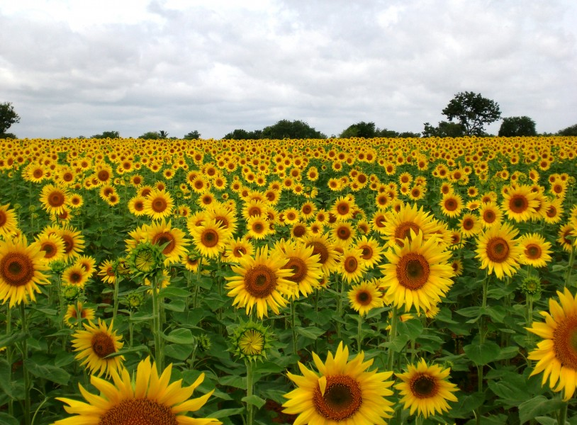 Sunflower Field near Raichur, India
