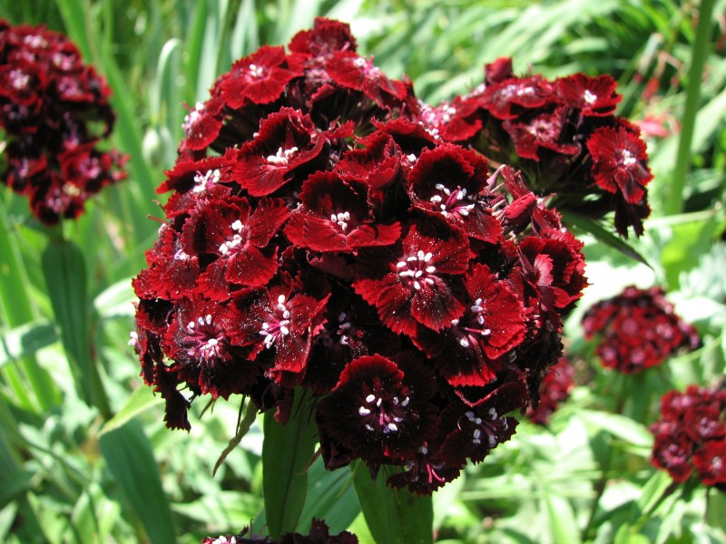 Sweet William Dianthus barbatus 'Heart Attack' Closeup 2816px