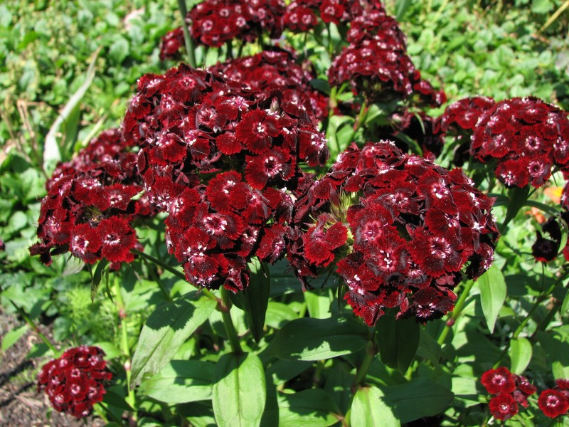 Sweet William Dianthus barbatus 'Heart Attack' Flowers 2816px