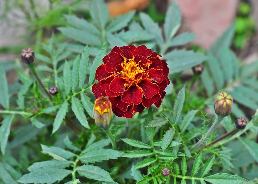Tagetes patula, Burdwan, West Bengal, India (3)