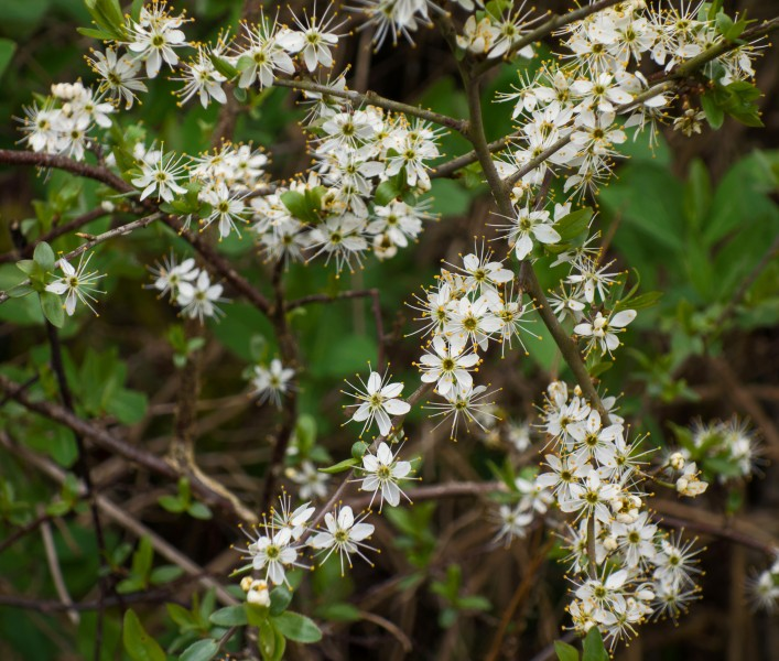 Twig with blackthorn flowers 2